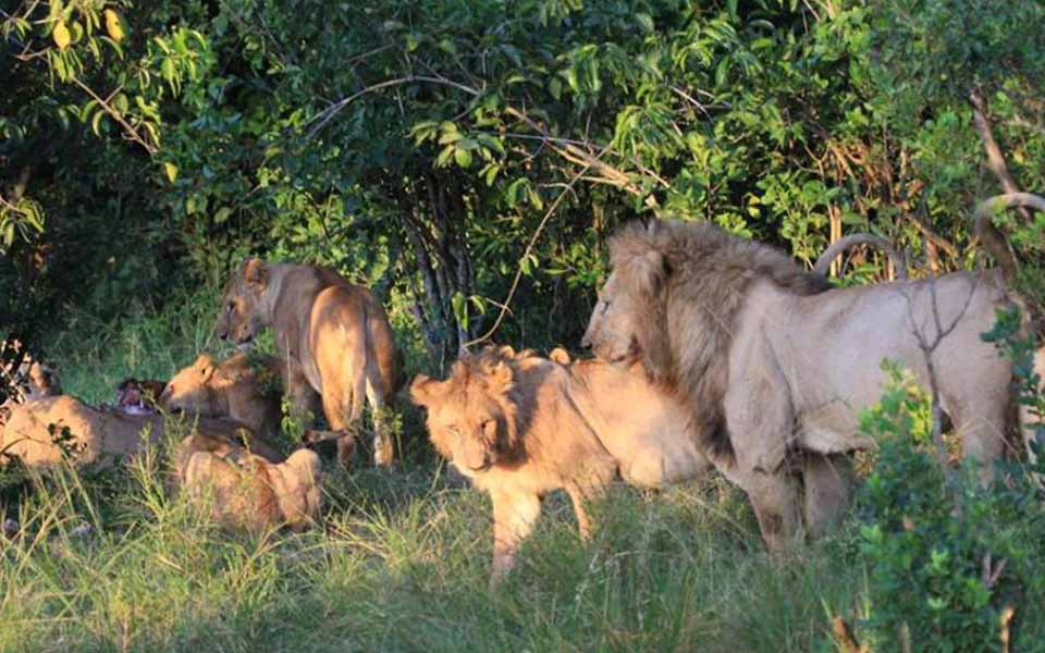 males and females Marsh lions pride kenya