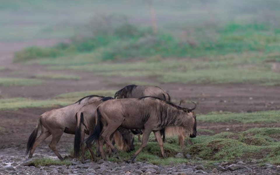 great-wildebeest-migration-ndutu-plains