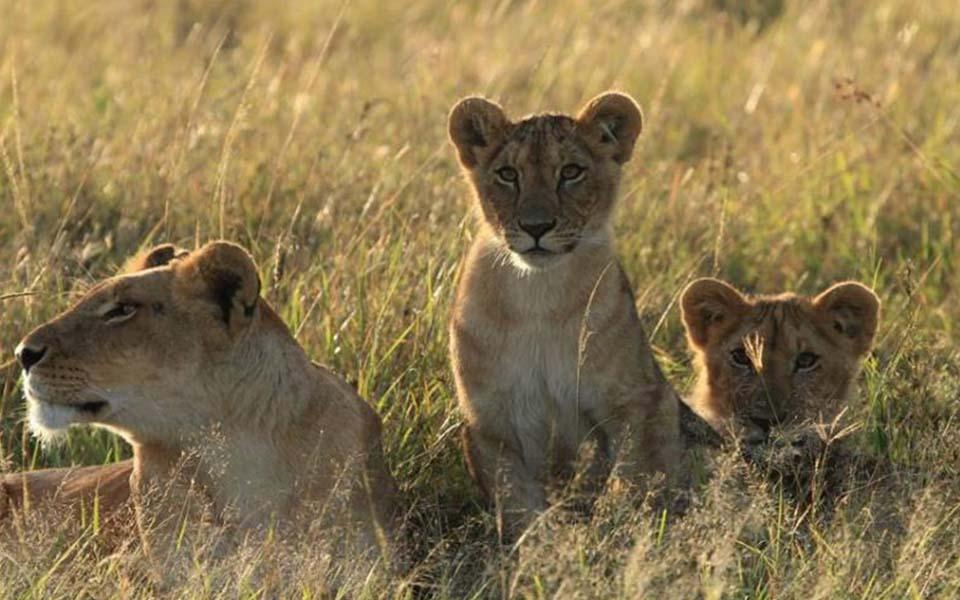 herdtracker marsh pride lion cub update