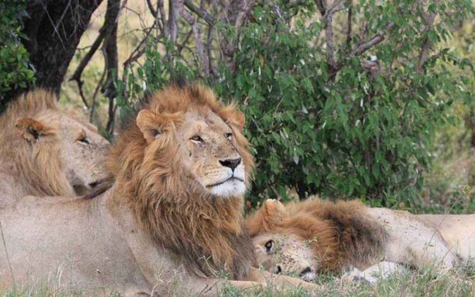 Marsh lion pride in Kenya-Marsh males - Koshoke, Baba Yao and Kiok