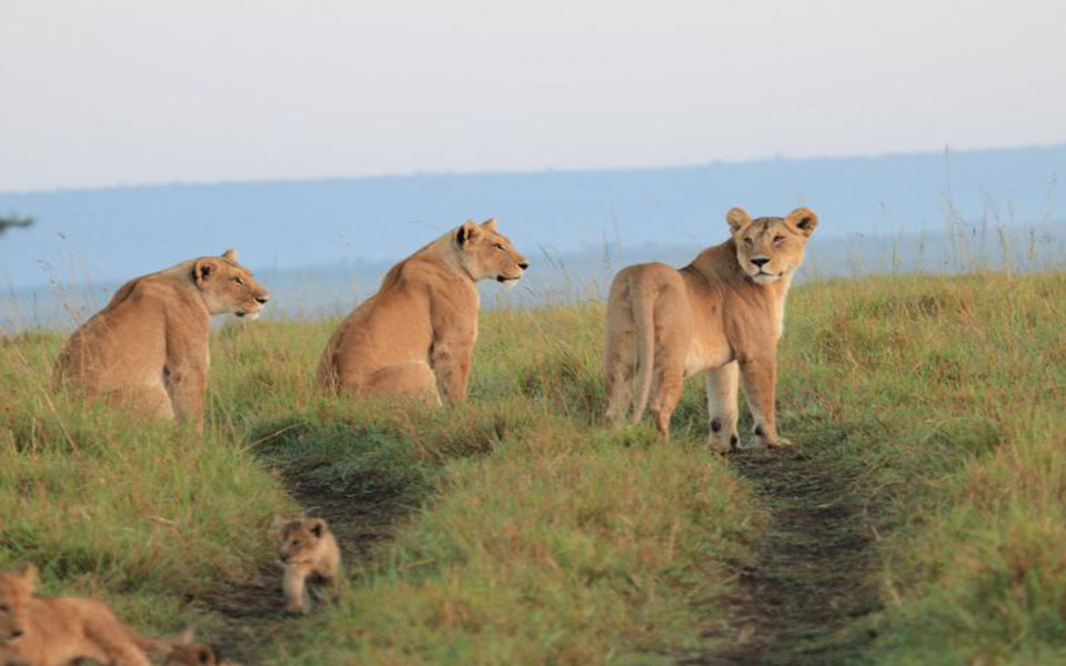 kenya-lion-safari