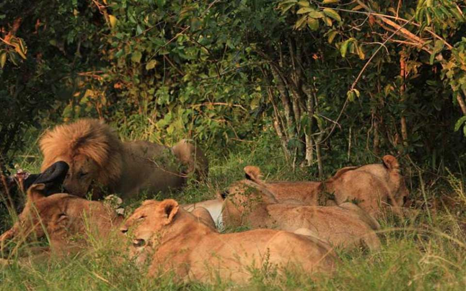 kenya lions pride males and female