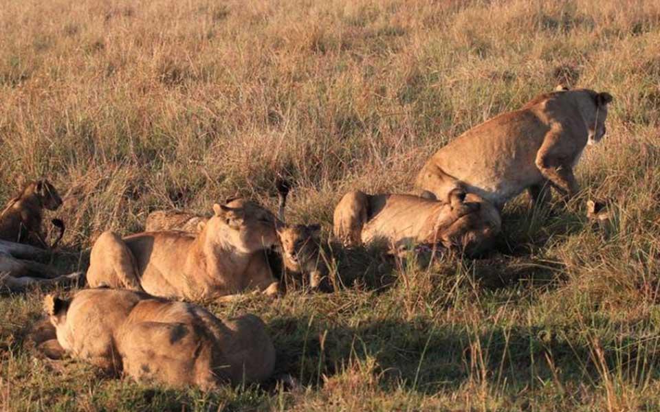 Marsh lion pride with cubs in kenya