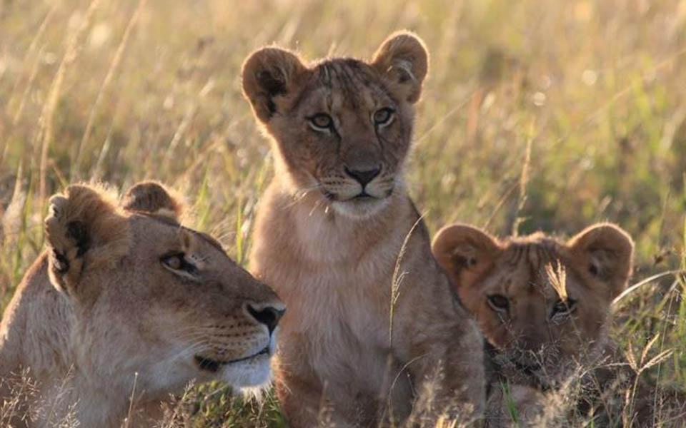marsh lion cubs update
