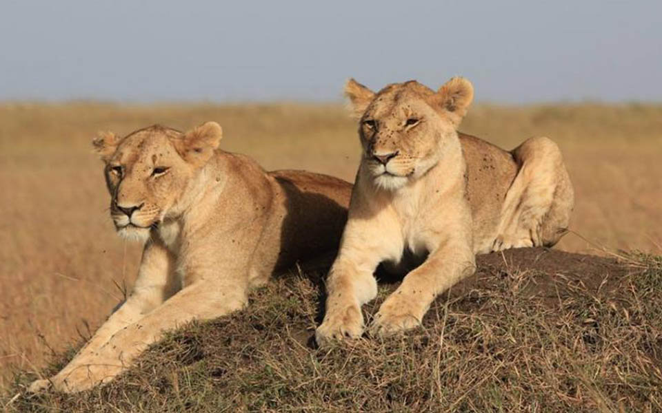 lions spotted on safari-marsh lion pride