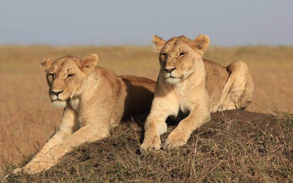 lions spotted on safari-marsh lion pride