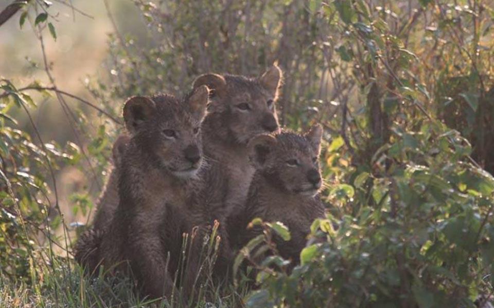 marsh lion cubs