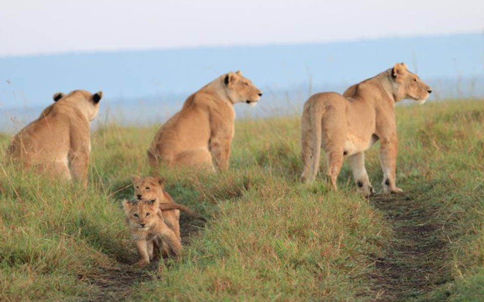 marsh-lion-cubs
