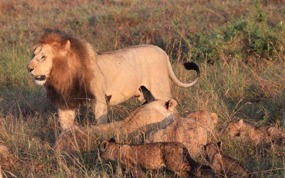 marsh lion pride
