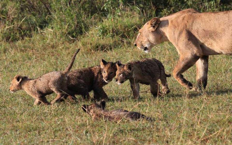 lion cubs in the masai mara safari