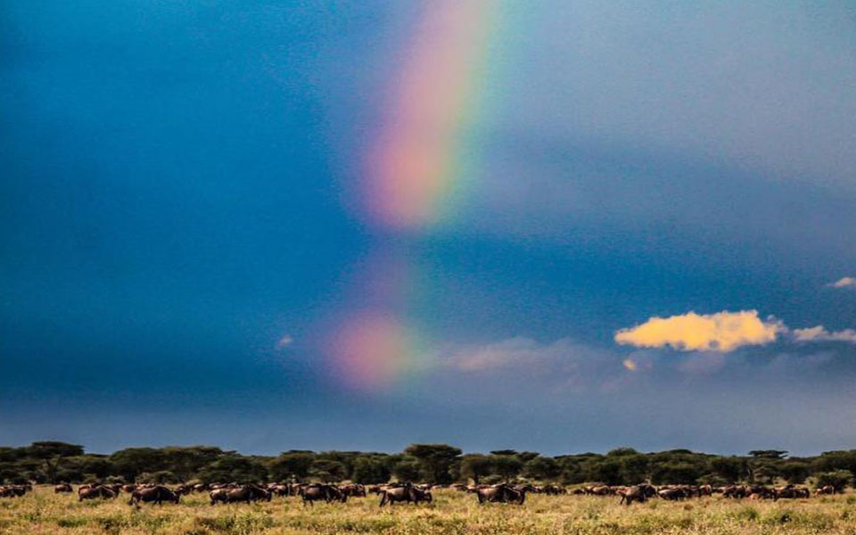 ndutu-migration-safari-rainbow-wildebeest-grazing