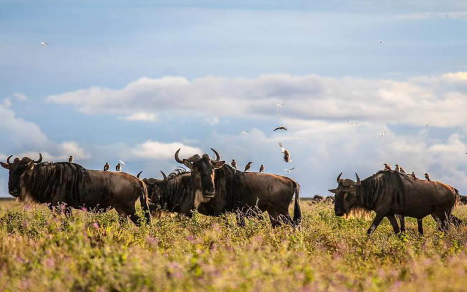 ndutu-wildebeest-migration-safari
