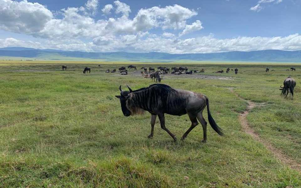 ngorongoro-wildebeest-migration-safari