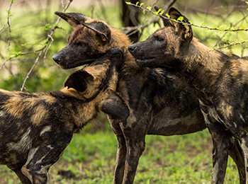"""Our Planet"": The Serengeti's Wild Dogs"
