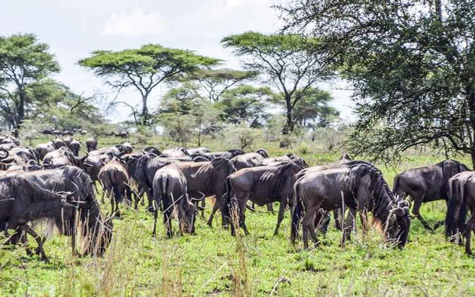 serengeti-photographic-wildebeest-safari