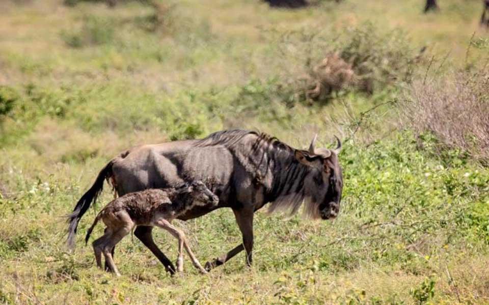 wildebeest calving season in the serengeti