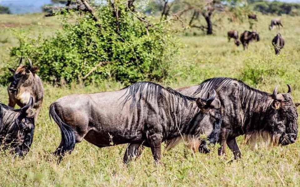 wildebeest migration safari in the serengti