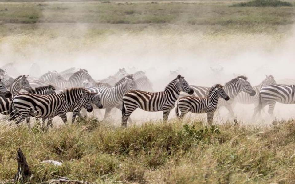 zebra-migration-during-april-in-africa
