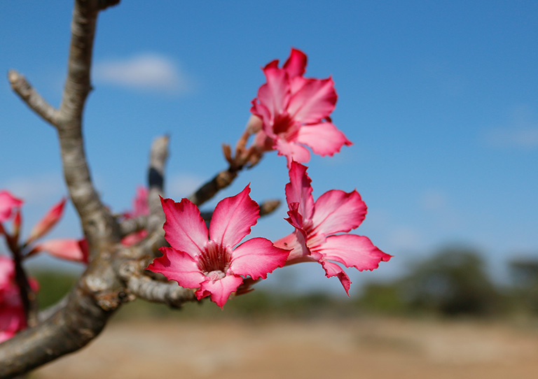 Desert-rose-in-bloom-asilia-adventures-sera-explored-kenya-northern-frontier