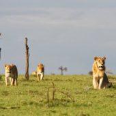 lions-tracking-in-ol-pejeta-conservancy