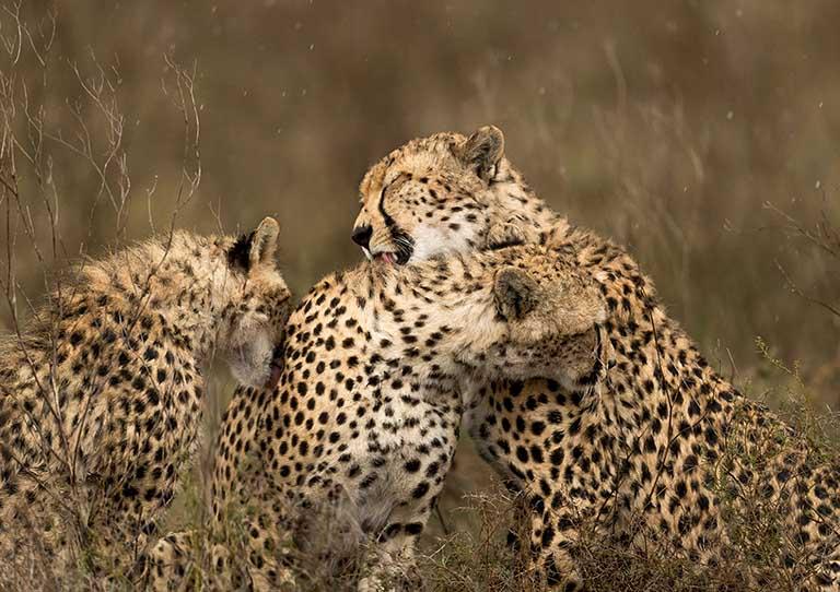 asilia-adventures-namiri-plains-africa-willife-cheetah