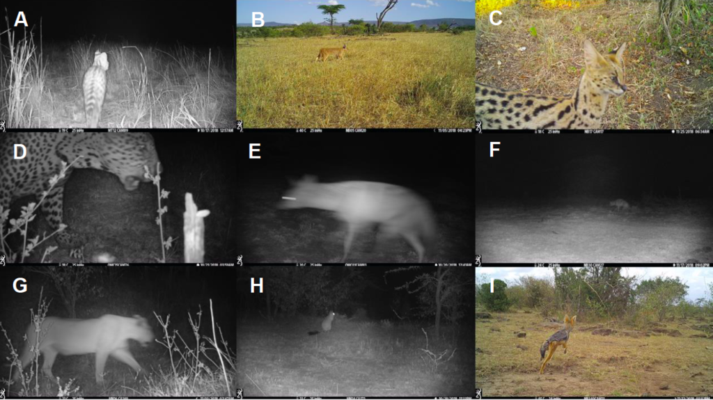 Examples of some of the images we have captured including some of the cryptic species that are less frequently seen. a) serval b) caracal c) serval d) leopard e) aardwolf f) aardwolf g) lion h) spring hare i) black-backed jackal. Provided by UCL.