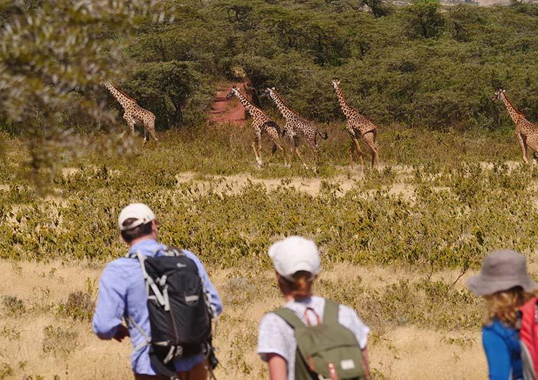 walking-the-plains-giraffe-walking-asilia-adventures