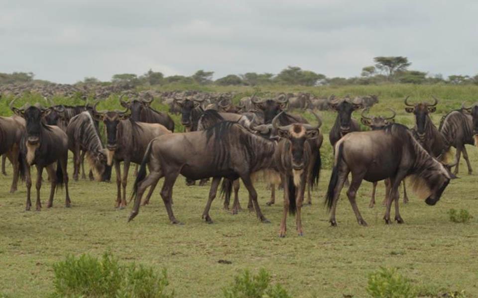 wildebeest-migration-in-the-serengeti