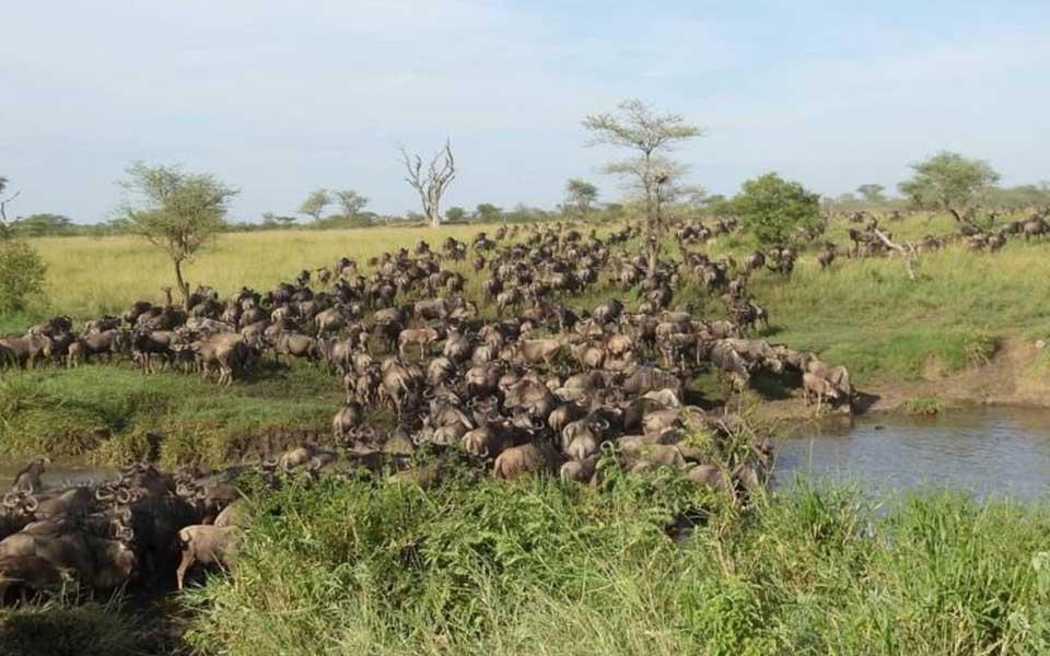 great-wildebeest-migration-crossing