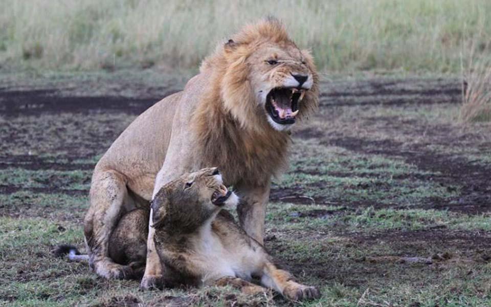 kenya-lion-safari
