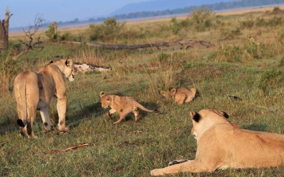 lions-on-safari-kenya-africa