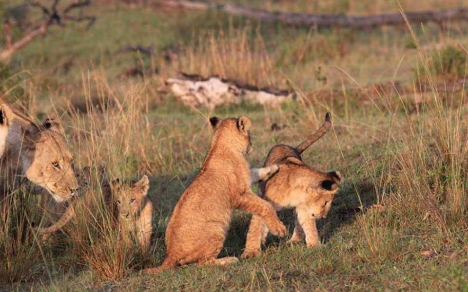 mars-lions-cubs
