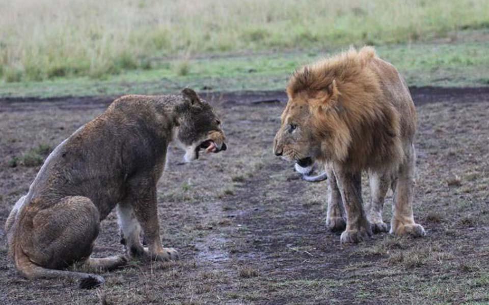 masai-mara-lions-safari-africa