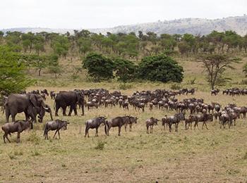 serengeti-wildebeest-elephant-migration-in-may