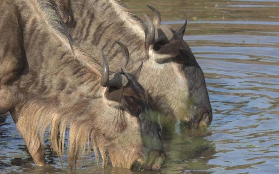 serengeti-great-migration-wildebeest-drinking-water-safari
