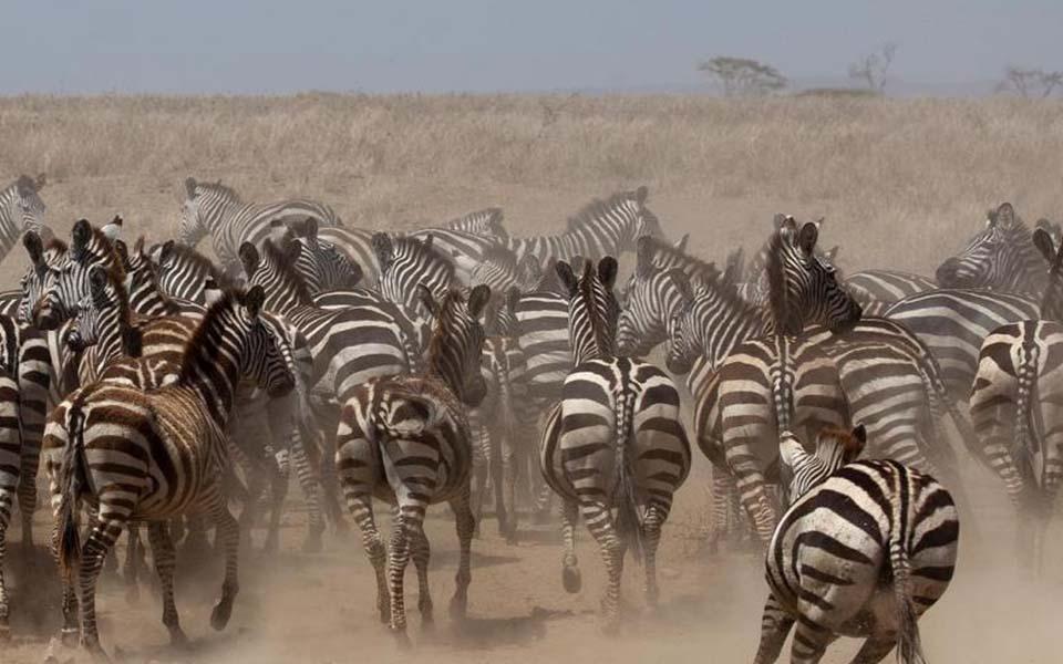 serengeti-zebra-safari-africa