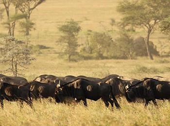 wildebeest-migration-africa-safari