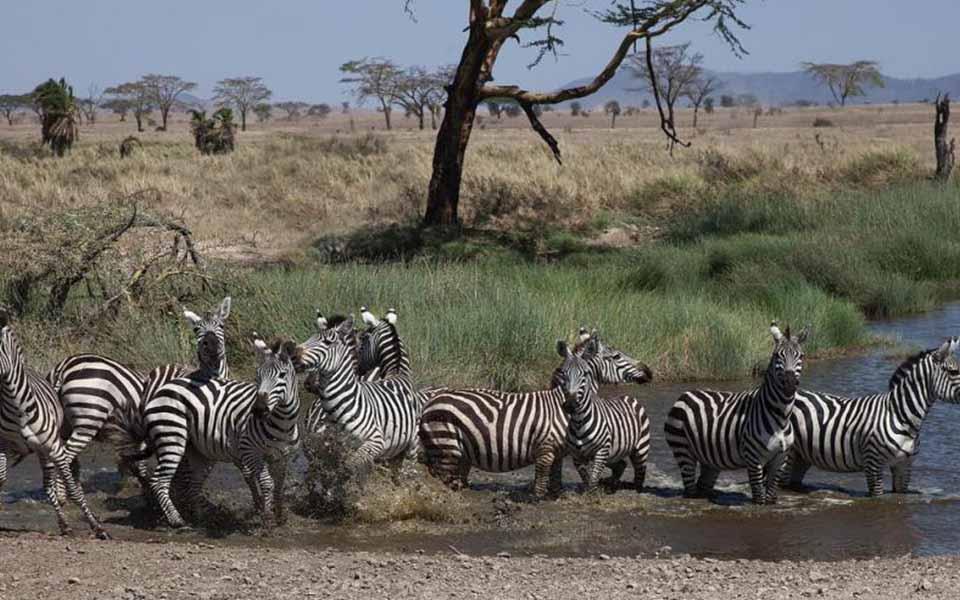 zebra-in-serengeti