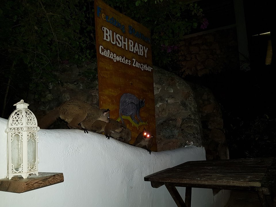 The Bush Baby Feeding Station at our Matemwe properties.