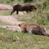 leopard-sneaking-on-warthog