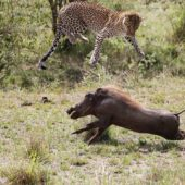 leopard-attacking-warthog-kenya-rekero-camp