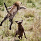 leopard-fighting-warthog-kenya-rekero-camp
