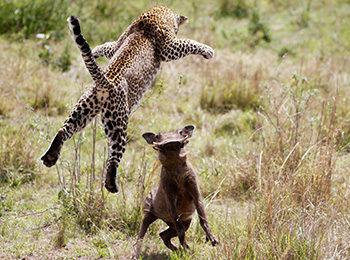 Leopard vs Warthog: An Unforgettable Encounter