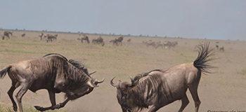 masai-mara-fighting-wildebeest-migration-safari-kenya-image-by-onesmus-ole-irungu