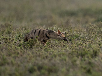 An Aardwolf Fight In The Mara Naboisho Conservancy