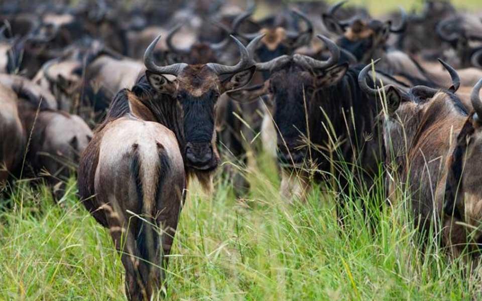 greati-wildebeest-migration-safari-masai-mara-reserve