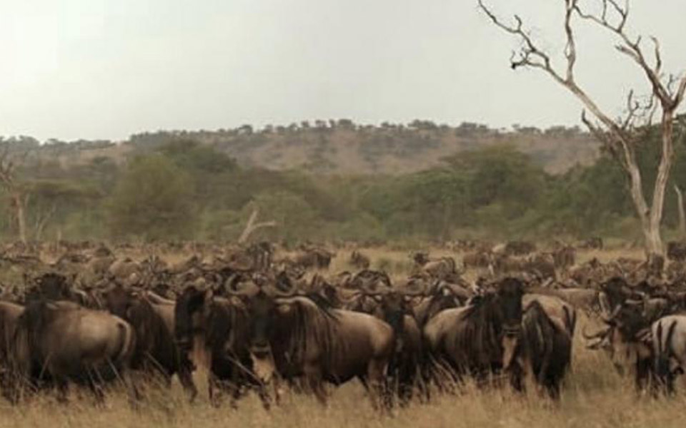 big-group-wildebeest-migration-grumeti-reserve-africa-safari