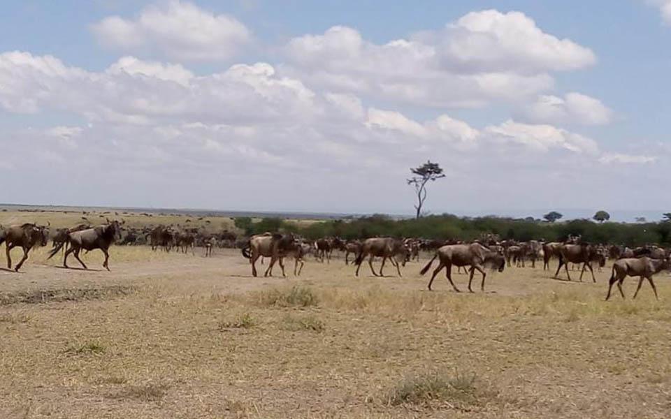 great-wildebeest-migration-kenya