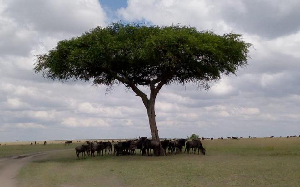 great-wildebeest-migration-in-topi