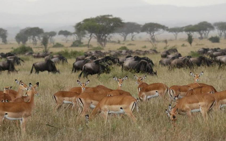 grumeti-wildlife-great-migration-herds-grazing